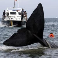 Dead whale in Indonesia had 115 plastic cups, 2 flip-flops in its stomach