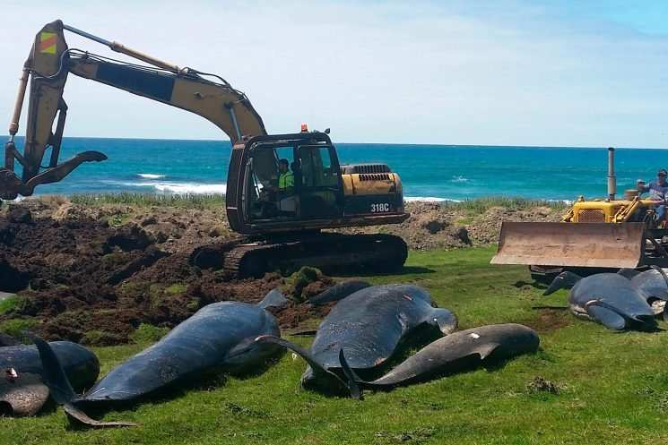 Whales won't stop killing themselves in New Zealand