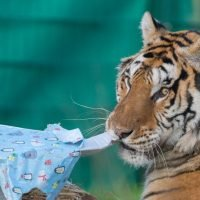 Tigers rescued by Mirror readers enjoy first Christmas since being saved