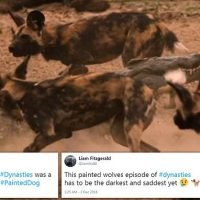 Dynasties:Animal lovers distraught by death of baby wolves