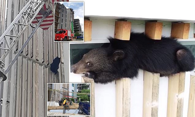 Bear cub gets stuck on 60ft window ledge while searching for food