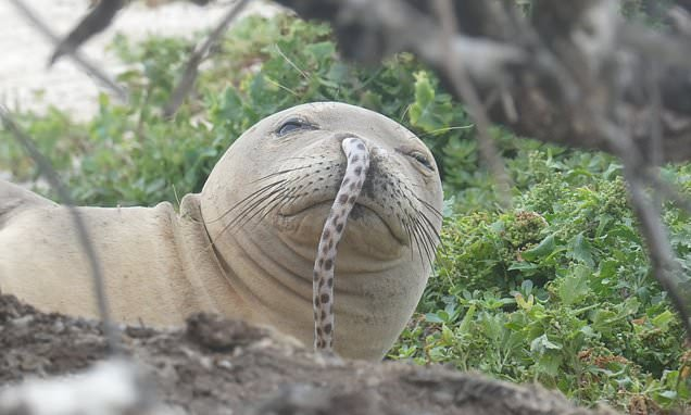 The unlucky seal with an EEL stuck up its nose