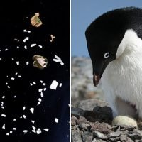 NASA study tracks Antarctic penguins using satellite images of poo