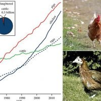 Anthropocene fossil record will be dominated by bones of chickens