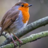 Wind turbines put robins at risk as hum plays havoc with territory