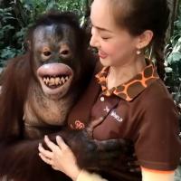 Hilarious moment cheeky orangutan grabs zoo worker's boobs