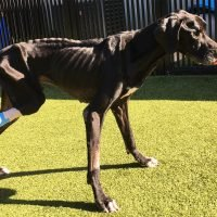 Owners Arrested After Great Dane Chews Off Leg After Allegedly Being Left Starving & Tangled in Wire
