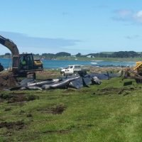 'It's still a bit of a mystery': 51 more beached whales die in New Zealand