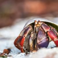 Hermit crabs evolve longer penises so they can protect their homes during sex