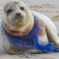 Female seal found with plastic netting wrapped tightly around its neck