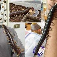Man lets his 17-inch venomous pet centipede crawl all over his body