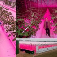 Tomato plants on giant 45ft vines in sci-fi Suffolk hangar