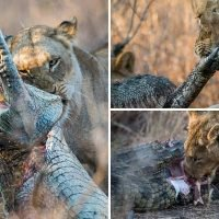 Lioness feasts on a crocodile after gripping its head
