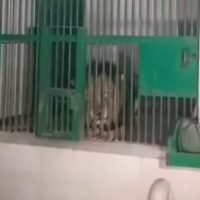 Man mauled to death by lions at Indian zoo after scaling 20ft wall