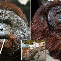Orangutan, 14, ripped off zoo volunteer's THUMB then bit into her arm