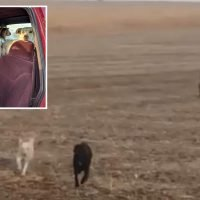 Incredible moment missing pet Labrador finds his way home a week after vanishing – with another dog and a GOAT in tow