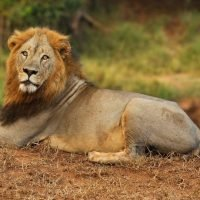 Man Mauled To Death In Front Of Terrified Zoo Visitors After Jumping Into Lion Enclosure