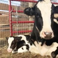 Cow Escapes Slaughterhouse Truck Gives Birth to Healthy Calf Days Later Surrounded by Love