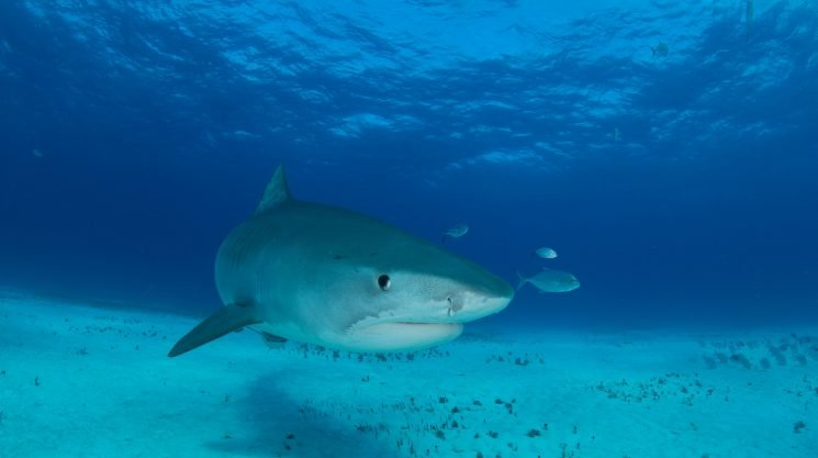 Awesome animal adventures: Swimming with tiger sharks in the Bahamas