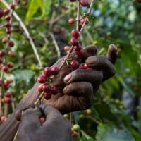 Global Warming Is Helping to Wipe Out Coffee in the Wild