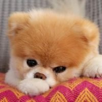 Goodbye Boo: 5 other famous dogs on the Internet