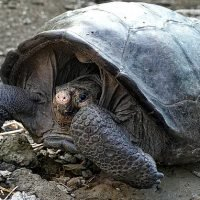 'Extinct' tortoises found alive and well in the Galapagos Islands