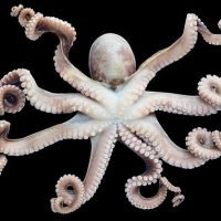 Razor-sharp teeth on squid tentacles may be used to replace plastics