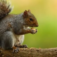 Squirrels are cute, cuddly – and on the menu in London