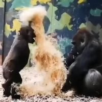 Baby gorilla demands attention from his big brother at a Danish zoo