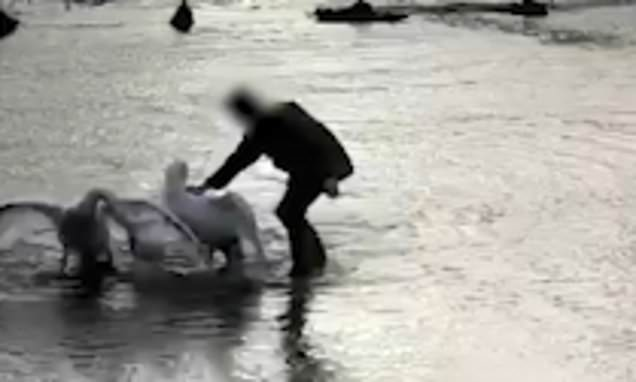 'Busybody' wades into water to break-up swans but drives them in water
