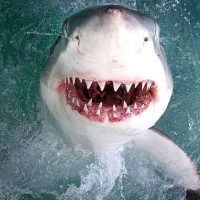 Photographer takes snap of great white shark inches from camera