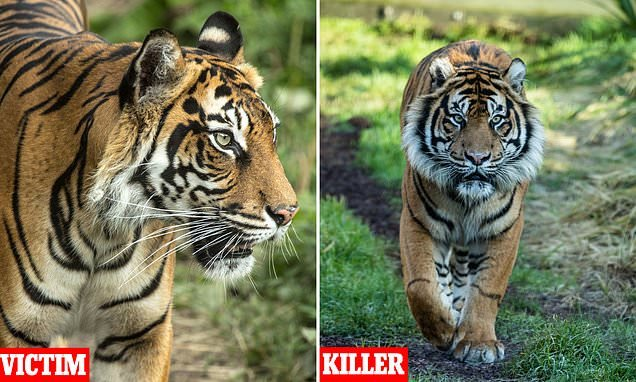 Horror as female London Zoo tiger Melati is brutally killed by mate