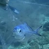 Tiny fish trapped in a plastic bag is freed by a diver in Thailand