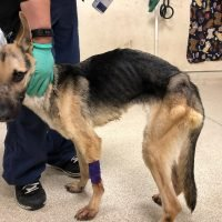 Emaciated 23-Pound German Shepherd Gains Weight and a Family Thanks to California Shelter