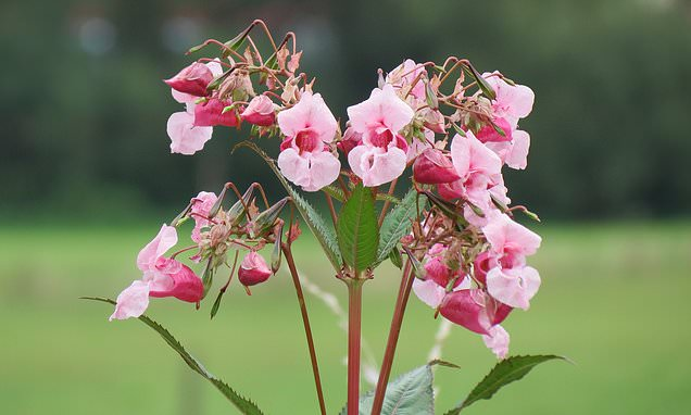 Invasion of the 10ft 'thug': Experts warn aggressive Himalayan balsam