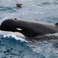 Scientist says mysterious killer whale thought to be a myth is real