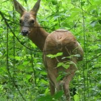 Favourite snacks for garden invading deer revealed