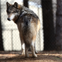 'Wolf inside' pet dogs helps them cooperate with humans, study finds