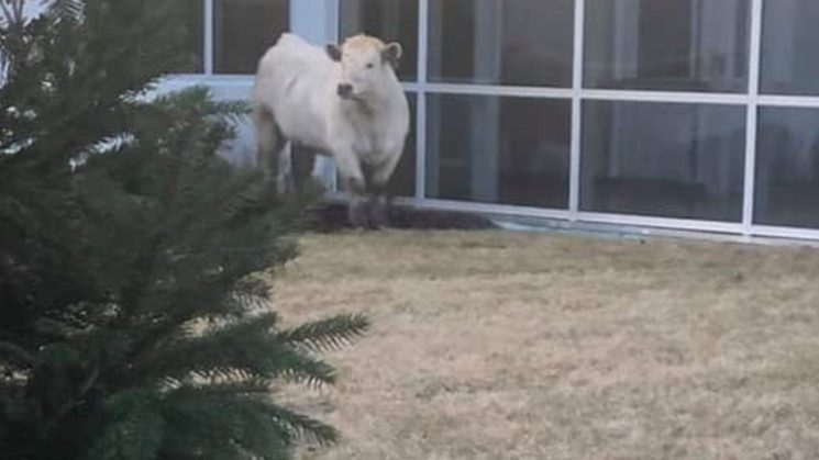 Cow on the loose near Indiana Chick-Fil-A: 'Hey, is this like a promo?'