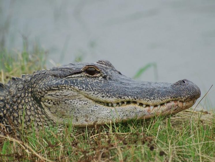Alligators have more in common with dinosaurs than you think