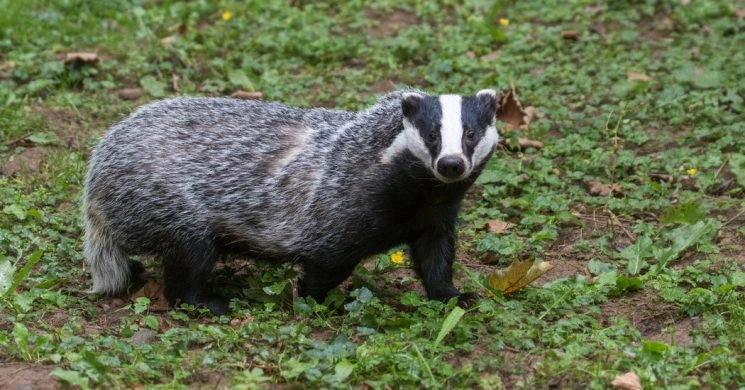Sometimes Wiping Out Badgers Helped. Sometimes It Didn't. Why?