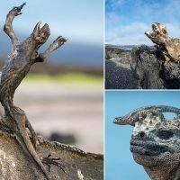 Shocking images reveal rotting lizards on the Galapagos