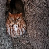 Owl raises duckling after mistaking its egg for her own