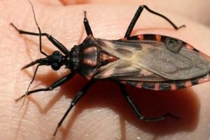 A parasitic illness from 'kissing bugs' that bite your face at night is spreading — here's how to tell those insects apart from other bugs