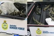 Woman caught smuggling 19 lizards through Melbourne airport