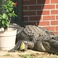 Huge alligator 'camping out' on Florida resident's back porch prompts call for police backup