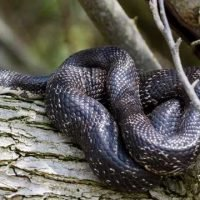 Indiana hiker spots huge snake hanging from tree branch