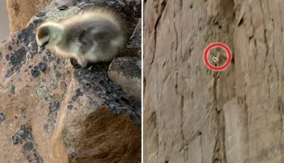 Horrifying moment baby goose falls 400ft to its death – but miraculously survives